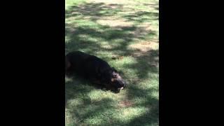 ロットワイラー(rottweiler) In Hawaii