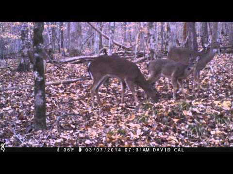 Deer feeding, hear turkey gobble