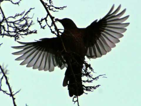 Olivier Messiaen - Le Merle noir (The Blackbird) [Kenneth Smith, Matthew Schellhorn]