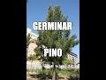 Como germinar pino (Casuarina)