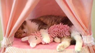 お姫様ベッドで人形を抱きしめる愛らしい猫 Adorable Cat Hugs Doll In Canopy Bed
