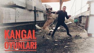 Kangal köpeği oyun oynuyor - Kangal attack