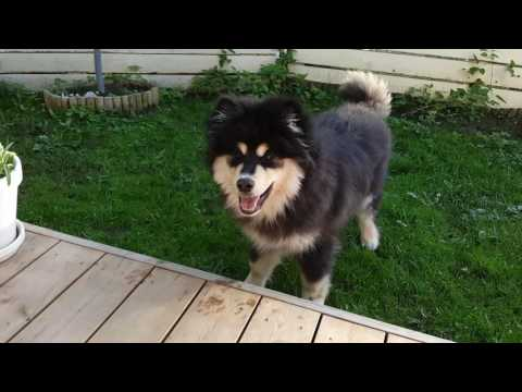 Hupsu the Finnish Lapphund VI