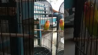 Lovebird tempel ngekek panjang cer
