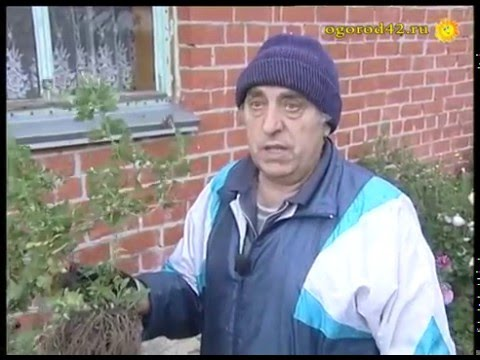 Хризантемы – убираем в погреб на зиму