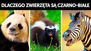 Dlaczego tak wiele zwierząt jest czarno-białych