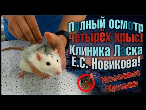 Сколько стоят крысы? 😶 Плановый осмотр четырех грызунов, и цена вопроса! 🐭(Fancy Rats)🐭