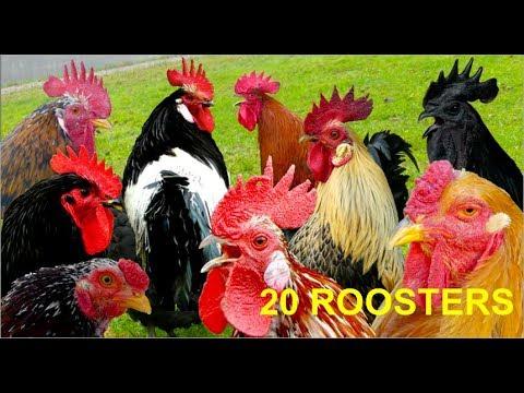 20 different roosters crowing - Krähruf der Hähne von 20 verschiedenen Hühnerrassen im Vergleich