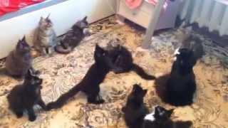 Рыбалка на котят мейн кун, питомник Mon Amour Coon, Донецк
