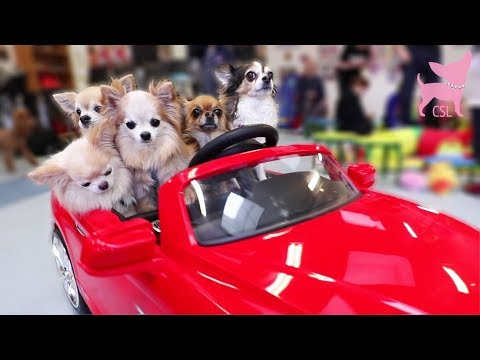 Cute Chihuahua Dogs Driving a Car and Playing