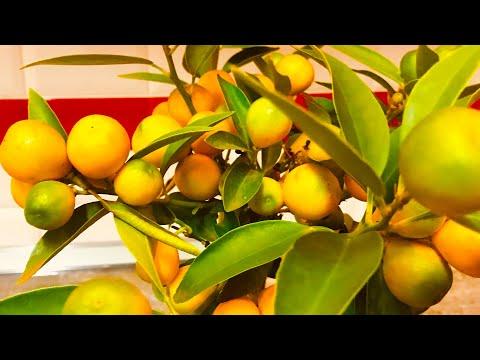 Уход и выращивание цитрусовых дома/ мандарин,лимон🍋