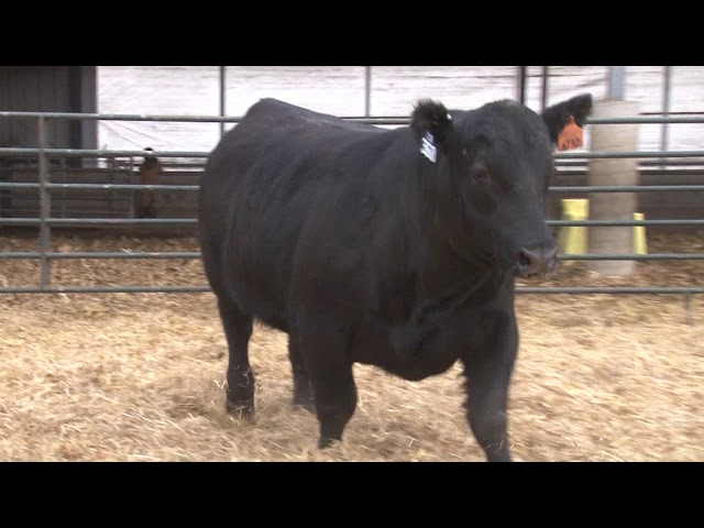 Schiefelbein Angus Farms Lot 360