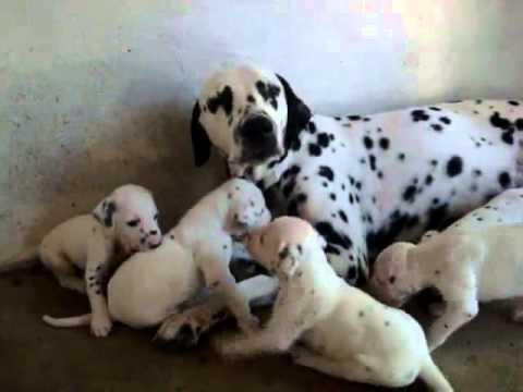 Dalmatian Puppies For Sale In Delhi 09899990099 Dogs For Sale In