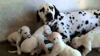 Dalmatian Puppies For Sale In Delhi 09899990099,dogs For Sale In Delhi