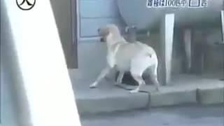 Chú chó thông minh cứu chủ giả chết giữa đường