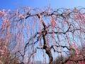 大倉山梅園にて の動画、YouTube動画。