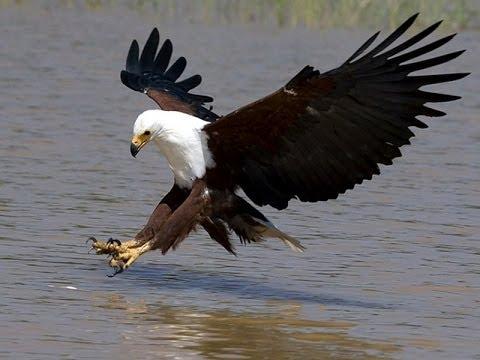 African Wildlife 02 - Fish Eagle - نسر السمك