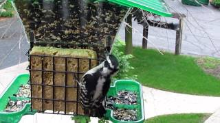 Balcony Birding- Downy Woodpecker Eating Suet
