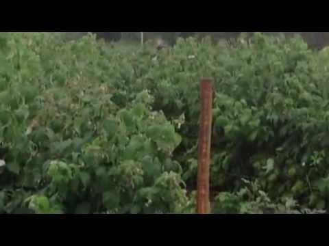 Ремонтантная малина в России, часть 2 - YouTube