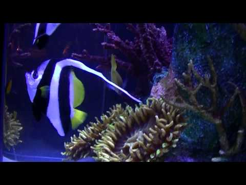 Heniochus Butterfly Fish At Rainforest Cafe
