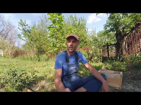 Выращивание лещины из семян