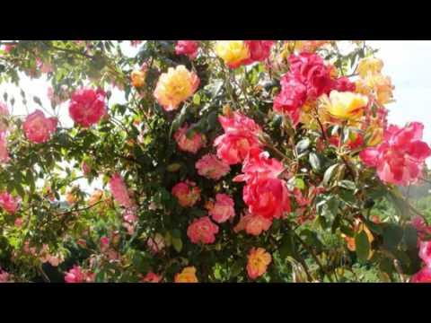 Роза крымская — лечебные свойства, применение и рецепты
