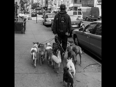 Walking a pack of dogs in NYC dog training NYC dog walking