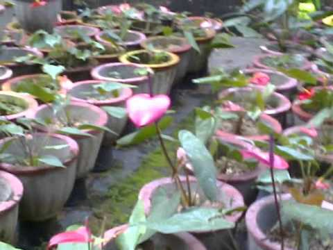 Introduction to Anthurium Varities