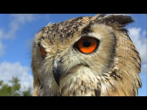 The most beautiful eyes: Bengal Eagle Owl. Feeding & hunting training in Dublin Falconry.