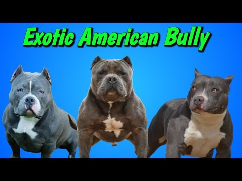 Exotic American Bully American Bully Dogs Junction Youtube