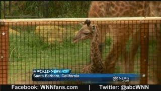 Baby Giraffe at California Zoo thumbnail