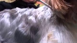 Порода собак   йоркширский терьер  Уход и содержание Фото, видео