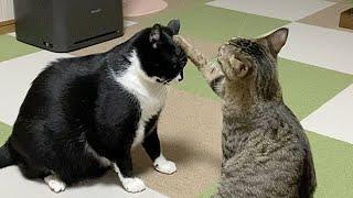 末っ子に片手で止められる先輩猫w【#Shorts】