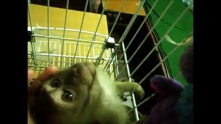 Wild baby monkey afraid of the sound of the rain on tin roof