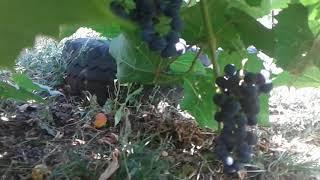Виноград Изабелла и яблоки