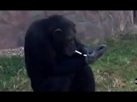 Smoking Chimpanzee Featured At North Korean Zoo