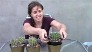 Кактус Лобивия, любимец народа ! Урок по пересадке кактуса. Род эхинопсис.
