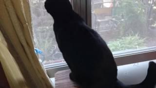 やや興奮気味で鼻息が荒い黒猫.