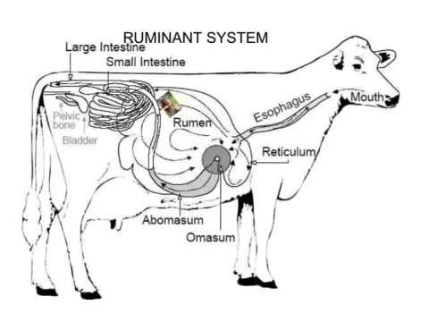 Ruminant Digestive System Grace And Noah Youtube