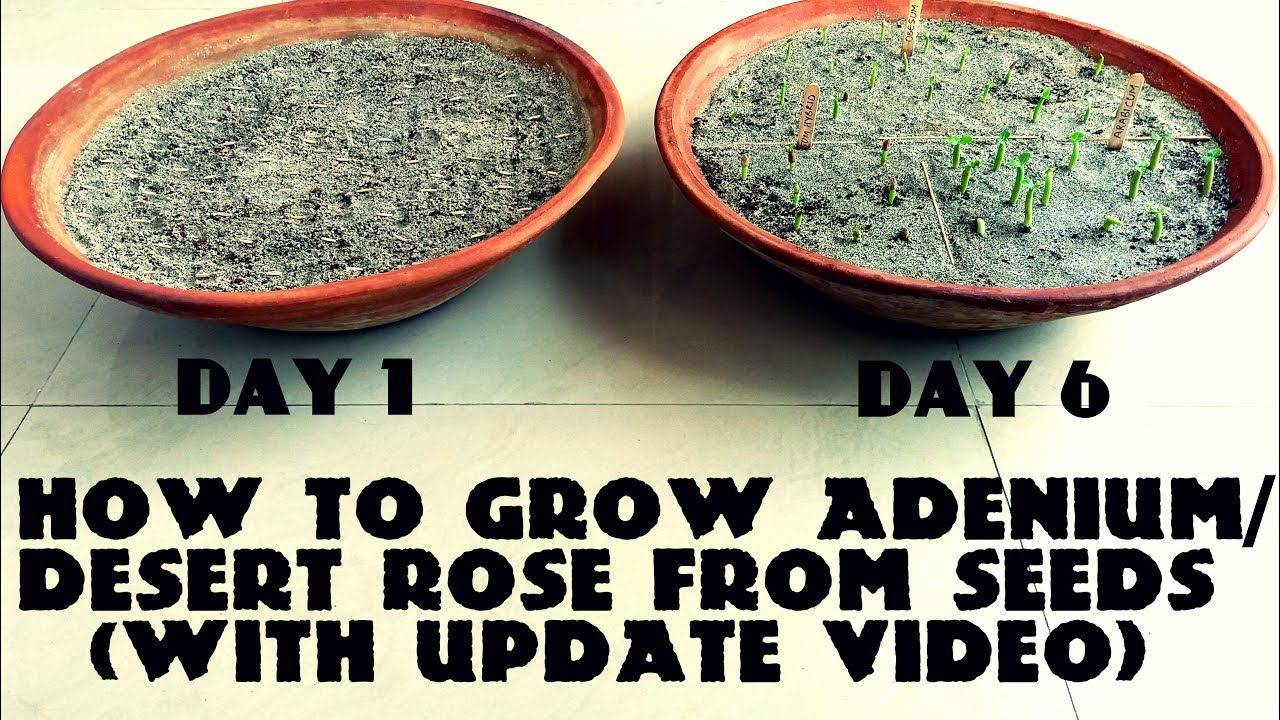 How To Grow Adenium Desert Rose From Seeds With Update Video