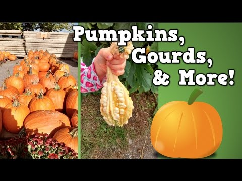 pumpkins gourds more harry kindergarten goes to the pumpkin rh youtube com