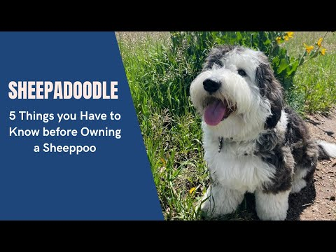 Sheepadoodle - 5 Things You Have To Know Before Owning A Sheeppoo