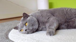 Do British Shorthair Cats Love Belly Rubs?