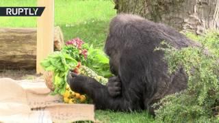 Старейшая горилла в Европе отметила 60-летие