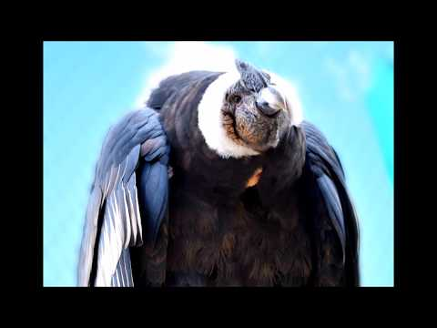 The Great Mystical Andean Condor of Colca Canyon -Valley, Peru