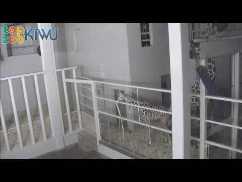 Sarge Giraffe Cam #TopZooKTWU