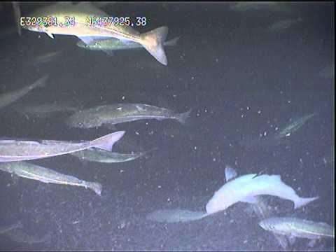 Cod in the North Sea