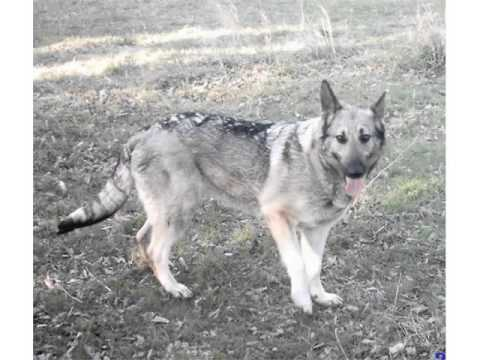 Silver German Shepherd Picture Collection And Ideas - Dogs Breed