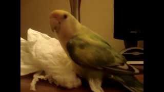 Dancing Lovebird! Agaporni Bailando!