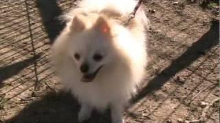 Watson The Pomeranian